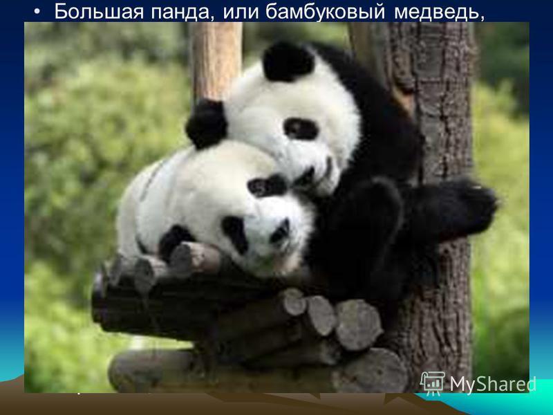 Большая панда, или бамбуковый медведь, является символом Всемирного фонда дикой природы. Водится только в горах Юго- Восточного Китая и Западного Тибета. Большая панда находится под угрозой исчезновения и строго охраняется законом. В мире насчитывает