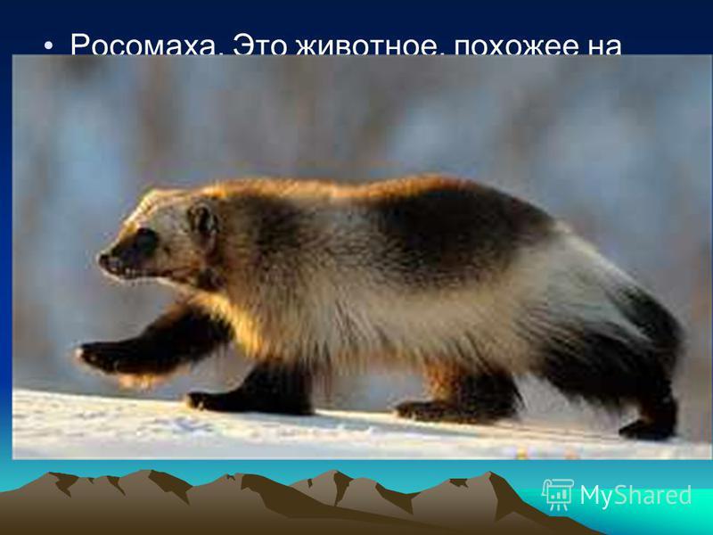 Росомаха. Это животное, похожее на небольшого медведя. Она ведет одиночный образ жизни и каждый вечер роет нору, в которой и проводит ночь. Росомаха - хищник, передвигается рысью или прыжками и нападает на открытом месте, поэтому её предполагаемой же