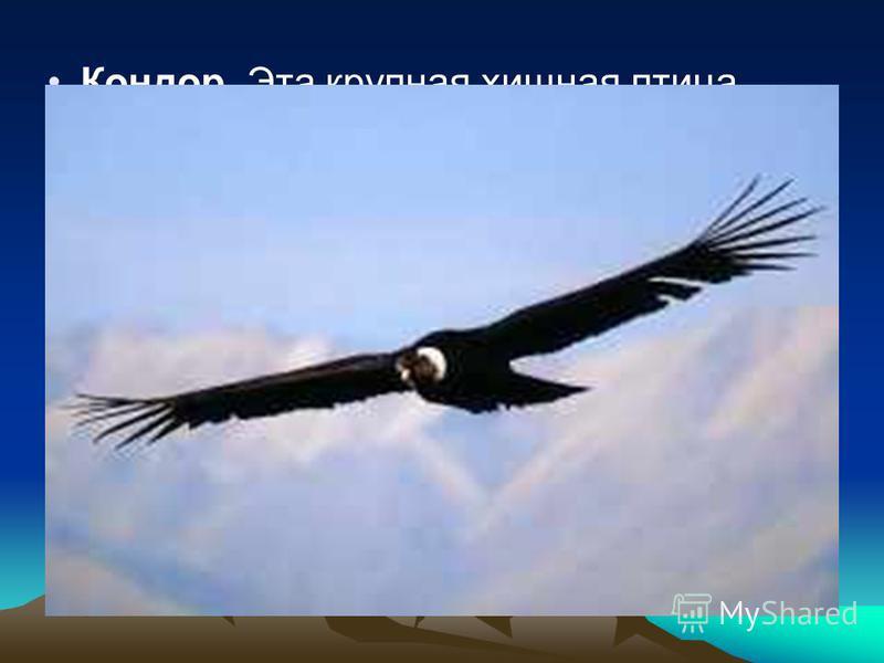 Кондор Эта крупная хищная птица встречается на любых высотах, вплоть до 5 000 метров на уровнем моря. Как и другие грифы, он живет в компании своих сородичей, а не отшельником подобно орлу. Андийский кондор - самая крупная из хищных птиц, его масса д