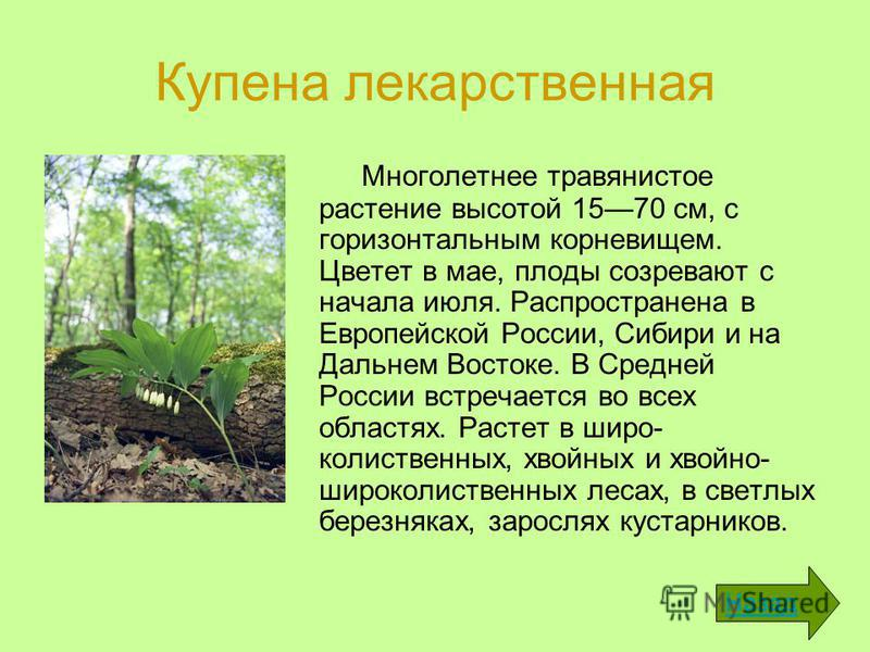 Купена лекарственная Многолетнее травянистое растение высотой 1570 см, с горизонтальным корневищем. Цветет в мае, плоды созревают с начала июля. Распространена в Европейской России, Сибири и на Дальнем Востоке. В Средней России встречается во всех