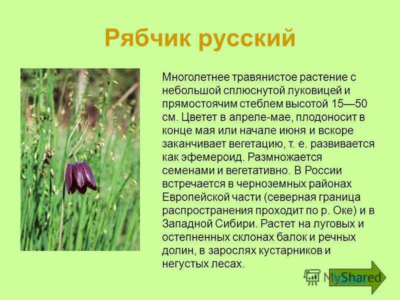 Рябчик русский Назад Многолетнее травянистое растение с небольшой сплюснутой луковицей и прямостоячим стеблем высотой 1550 см. Цветет в апреле-мае, плодоносит в конце мая или начале июня и вскоре заканчивает вегетацию, т. е. развивается как эфемерои