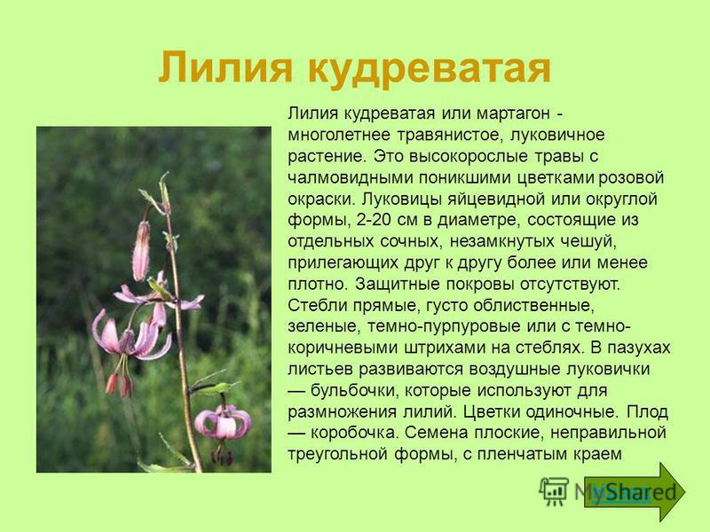 Лилия кудреватая Назад Лилия кудреватая или мартагон - многолетнее травянистое, луковичное растение. Это высокорослые травы с чалмовидными поникшими цветками розовой окраски. Луковицы яйцевидной или округлой формы, 2-20 см в диаметре, состоящие из от