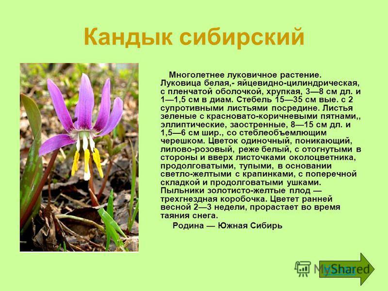 Кандык сибирский Многолетнее луковичное растение. Луковица белая,- яйцевидно-цилиндрическая, с пленчатой оболочкой, хрупкая, 38 см дл. и 11,5 см в диам. Стебель 1535 см вые. с 2 супротивными листьями посредине. Листья зеленые с красновато-коричневым