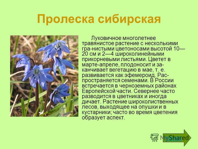 Пролеска сибирская Луковичное многолетнее травянистое растение с несколькими гра-нистыми цветоносами высотой 10 20 см и 24 широколинейными прикорневыми листьями. Цветет в марте-апреле, плодоносит и за канчивает вегетацию в мае, т. е. развивается как