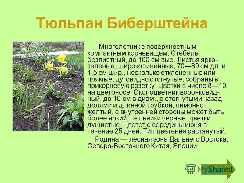 Тюльпан Биберштейна Многолетник с поверхностным компактным корневищем. Стебель безлистный, до 100 см вые. Листья ярко- зеленые, широколинейные, 7080 см дл. и 1,5 см шир., несколько отклоненные или прямые, дуговидно отогнутые, собраны в прикорневую р