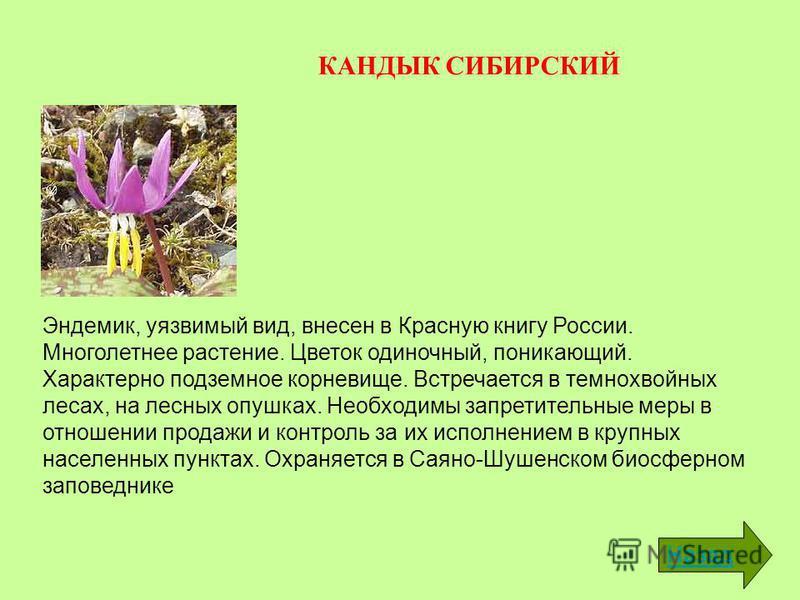 КАНДЫК СИБИРСКИЙ Эндемик, уязвимый вид, внесен в Красную книгу России. Многолетнее растение. Цветок одиночный, поникающий. Характерно подземное корневище. Встречается в темнохвойных лесах, на лесных опушках. Необходимы запретительные меры в отношении