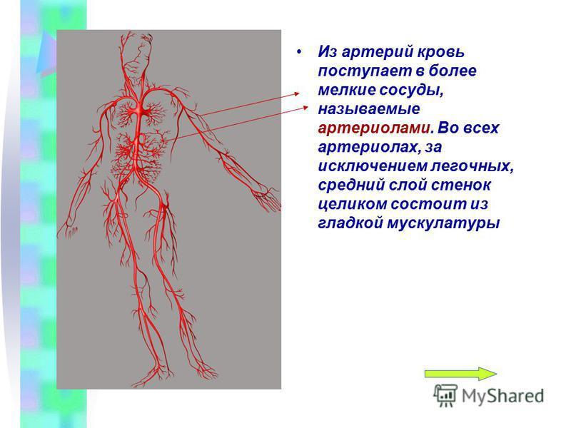 Из артерий кровь поступает в более мелкие сосуды, называемые артериолами. Во всех артериолах, за исключением легочных, средний слой стенок целиком состоит из гладкой мускулатуры