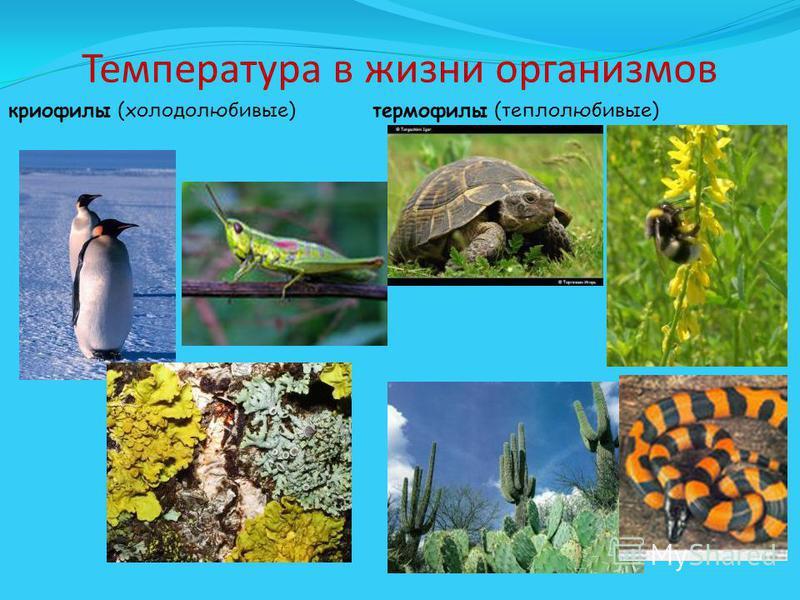 Температура в жизни организмов криофилы (холодолюбивые) термофилы (теплолюбивые)