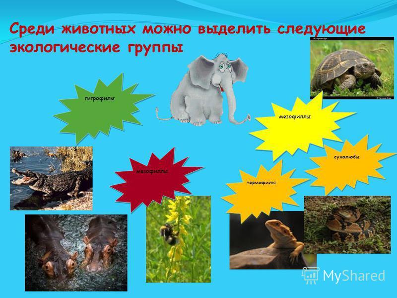 Среди животных можно выделить следующие экологические группы гигрофилы мезофиллы термофилы сухолюбы мезофиллы