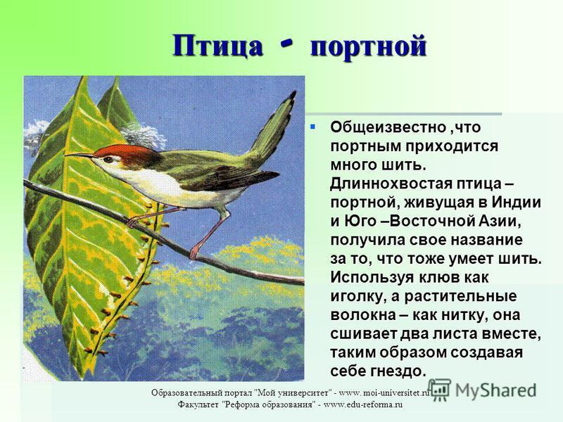 Птица - портной Общеизвестно,что портным приходится много шить. Длиннохвостая птица – портной, живущая в Индии и Юго –Восточной Азии, получила свое название за то, что тоже умеет шить. Используя клюв как иголку, а растительные волокна – как нитку, он