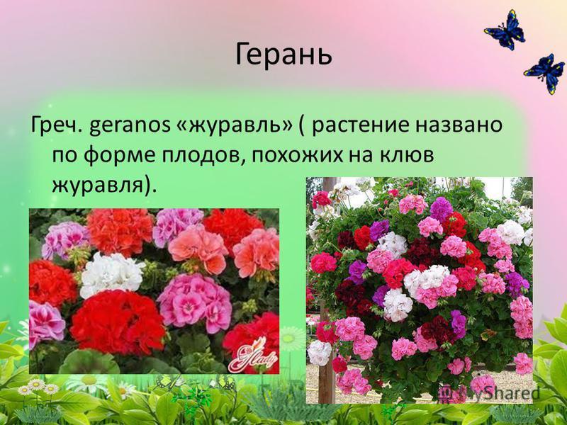Греч. geranos «журавль» ( растение названо по форме плодов, похожих на клюв журавля). Герань