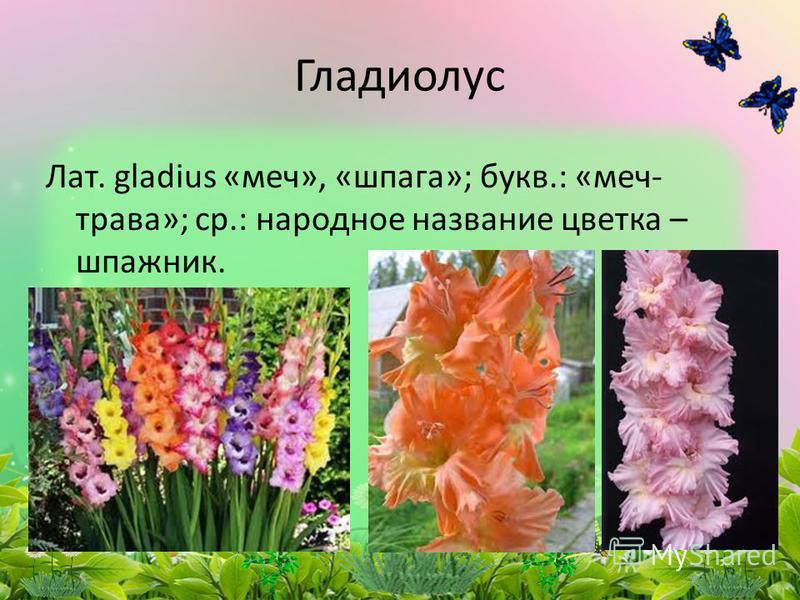 Лат. gladius «меч», «шпага»; букв.: «меч- трава»; ср.: народное название цветка – шпажник. Гладиолус
