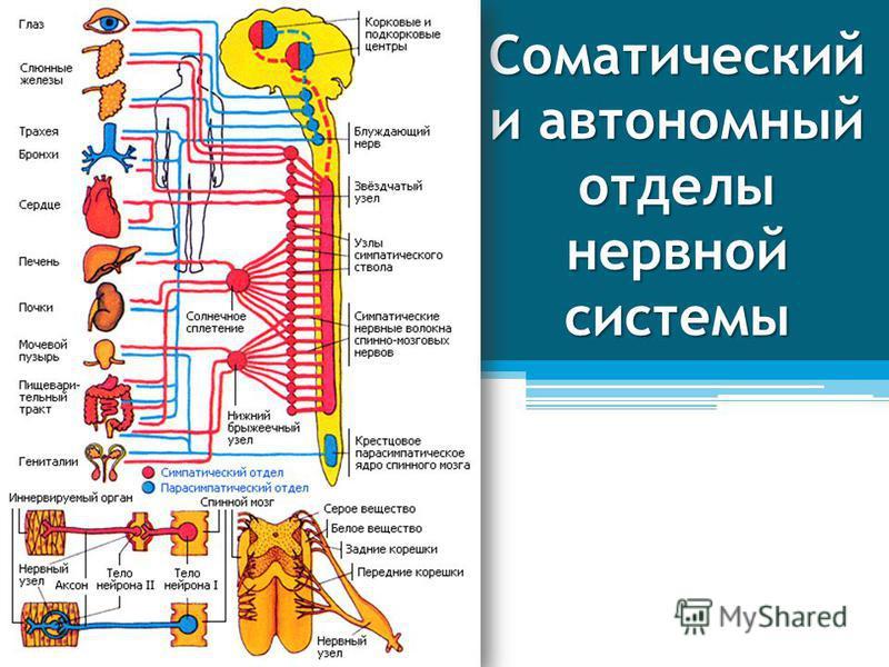 Соматический и автономный отделы нервной системы