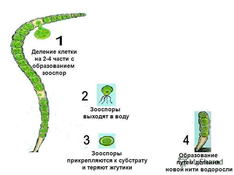 Деление клетки на 2-4 части с образованием зооспор Зооспоры выходят в воду Зооспоры прикрепляются к субстрату и теряют жгутики Образование путем деления новой нити водоросли