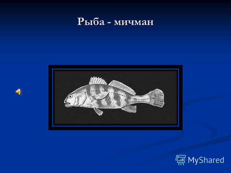 Рыба - мичман