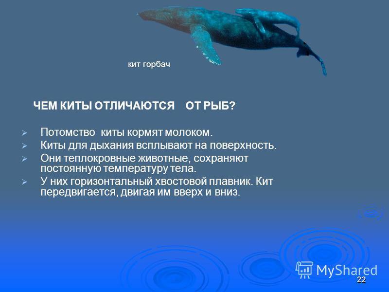 ЧЕМ КИТЫ ОТЛИЧАЮТСЯ ОТ РЫБ? Потомство киты кормят молоком. Киты для дыхания всплывают на поверхность. Они теплокровные животные, сохраняют постоянную температуру тела. У них горизонтальный хвостовой плавник. Кит передвигается, двигая им вверх и вниз.