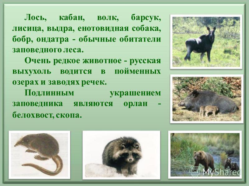 Лось, кабан, волк, барсук, лисица, выдра, енотовидная собака, бобр, ондатра - обычные обитатели заповедного леса. Очень редкое животное - русская выхухоль водится в пойменных озерах и заводях речек. Подлинным украшением заповедника являются орлан - б