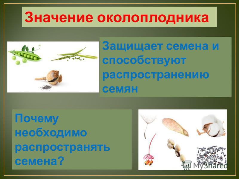 Защищает семена и способствуют распространению семян Почему необходимо распространять семена? Значение околоплодника