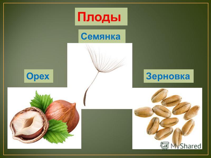 Орех Зерновка Семянка Плоды