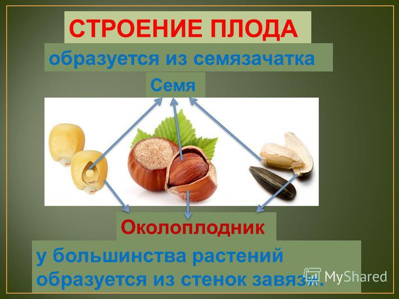 СТРОЕНИЕ ПЛОДА Семя Околоплодник у большинства растений образуется из стенок завязи. образуется из семязачатка
