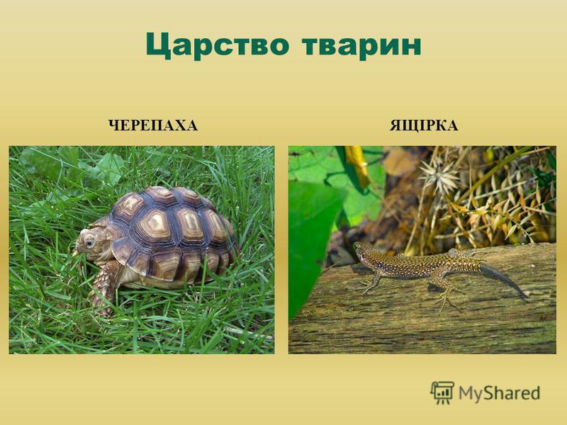 Царство тварин ЧЕРЕПАХА ЯЩІРКА