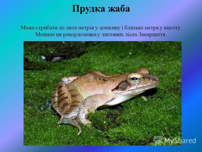 Прудка жаба Може стрибати до двох метрів у довжину і близько метра у висоту. Мешкає ця рекордсменка у листяних лісах Закарпаття.