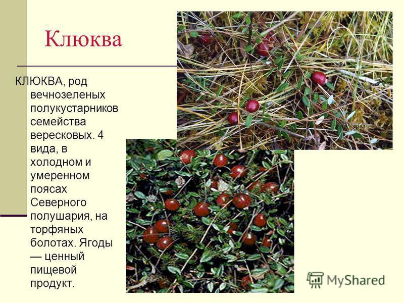 Клюква КЛЮКВА, род вечнозеленых полукустарников семейства вересковых. 4 вида, в холодном и умеренном поясах Северного полушария, на торфяных болотах. Ягоды ценный пищевой продукт.