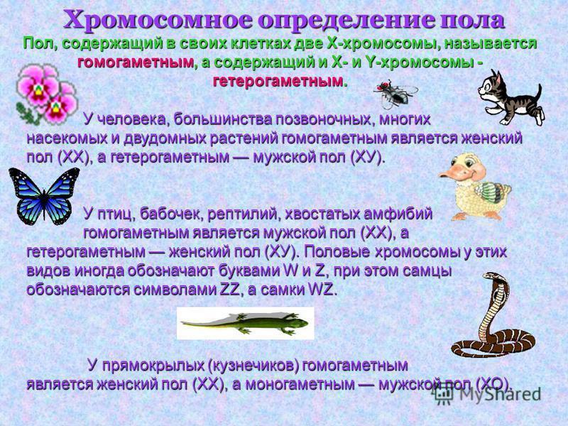 Хромосомное определение пола У человека, большинства позвоночных, многих насекомых и двудомных растений гомогаметным является женский пол (XX), а гетерогаметным мужской пол (ХУ). У птиц, бабочек, рептилий, хвостатых амфибий гомогаметным является мужс