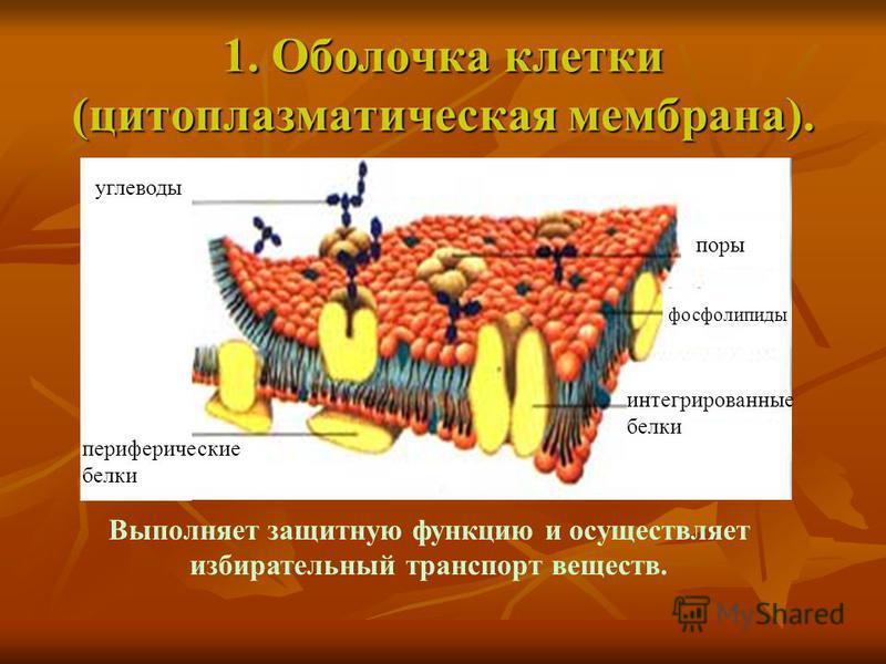 1. Оболочка клетки (цитоплазматическая мембрана). углеводы периферические белки интегрированные белки фосфолипиды поры Выполняет защитную функцию и осуществляет избирательный транспорт веществ.