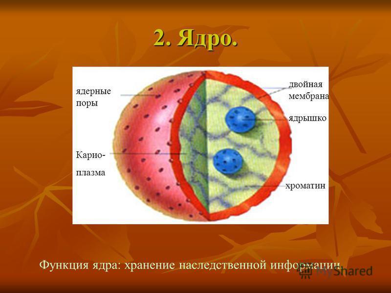 2. Ядро. ядерные поры Карио- плазма двойная мембрана хроматин ядрышко Функция ядра: хранение наследственной информации.