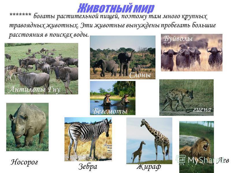 Животный мир Антилопы Гну Носорог Зебра Жираф ******* богаты растительной пищей, поэтому там много крупных травоядных животных. Эти животные вынуждены пробегать большие расстояния в поисках воды. Слоны Буйволы Бегемоты Лев гиена