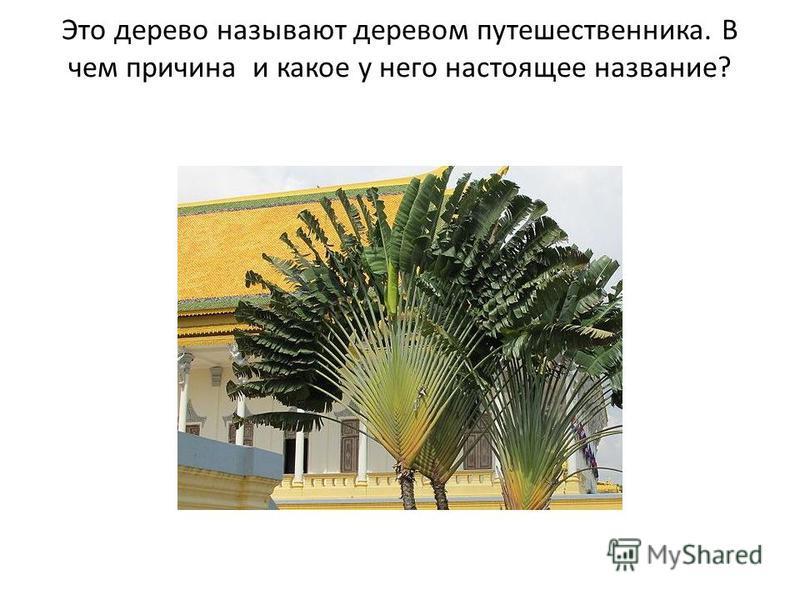 Это дерево называют деревом путешественника. В чем причина и какое у него настоящее название?