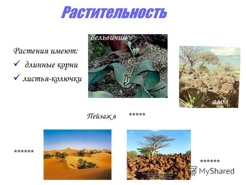 Растительность Растения имеют: длинные корни листья-колючки Вельвичия Пейзаж в ***** ****** алоэ