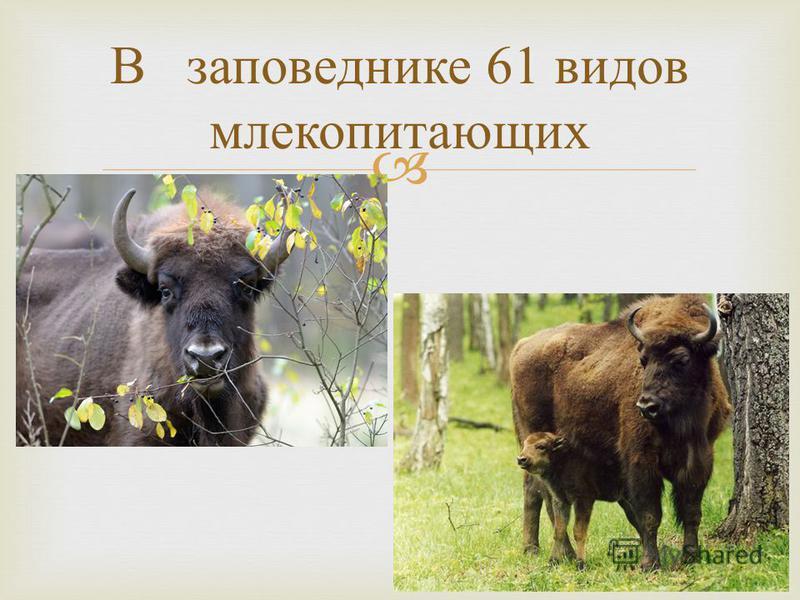 В заповеднике 61 видов млекопитающих