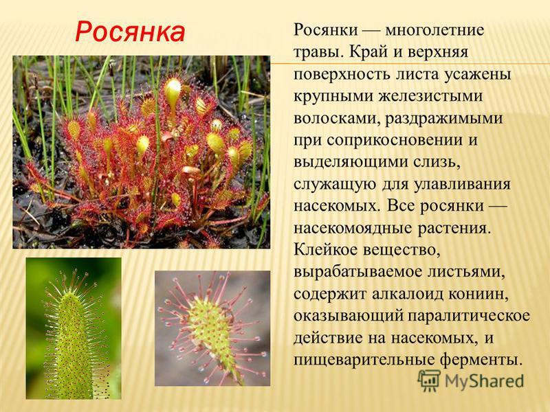 Росянка Росянки многолетние травы. Край и верхняя поверхность листа усажены крупными железистыми волосками, раздражимыми при соприкосновении и выделяющими слизь, служащую для улавливания насекомых. Все росянки насекомоядные растения. Клейкое вещество