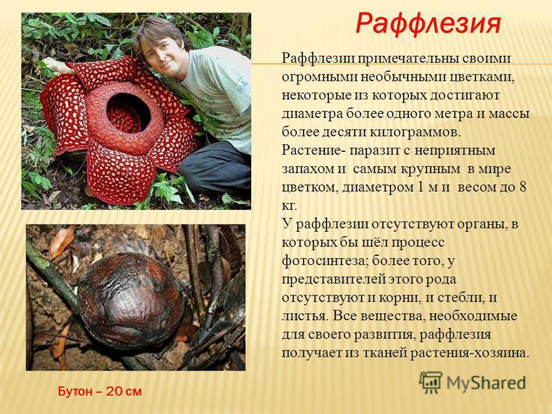Раффлезия Бутон – 20 см Раффлезии примечательны своими огромными необычными цветками, некоторые из которых достигают диаметра более одного метра и массы более десяти килограммов. Растение- паразит с неприятным запахом и самым крупным в мире цветком,