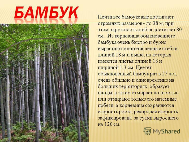 Почти все бамбуковые достигают огромных размеров - до 38 м, при этом окружность стебля достигает 80 см. Из корневища обыкновенного бамбука очень быстро и бурно вырастают многочисленные стебли, длиной 18 м и выше, на которых имеются листья длиной 18 и