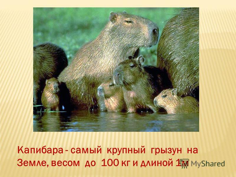 Капибара - самый крупный грызун на Земле, весом до 100 кг и длиной 1 м
