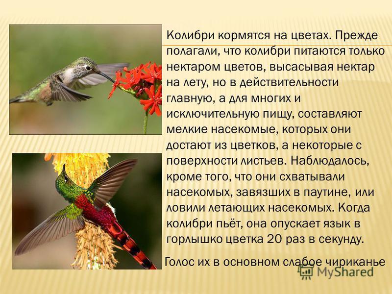 Колибри кормятся на цветах. Прежде полагали, что колибри питаются только нектаром цветов, высасывая нектар на лету, но в действительности главную, а для многих и исключительную пищу, составляют мелкие насекомые, которых они достают из цветков, а неко