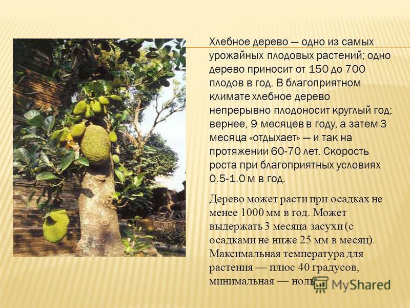 Хлебное дерево одно из самых урожайных плодовых растений; одно дерево приносит от 150 до 700 плодов в год. В благоприятном климате хлебное дерево непрерывно плодоносит круглый год; вернее, 9 месяцев в году, а затем 3 месяца «отдыхает» и так на протяж