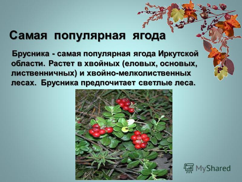 Самая популярная ягода Брусника - самая популярная ягода Иркутской области. Растет в хвойных (еловых, основных, лиственничных) и хвойно-мелколиственных лесах. Брусника предпочитает светлые леса. Брусника - самая популярная ягода Иркутской области. Ра