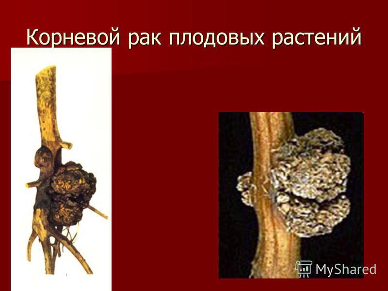 Корневой рак плодовых растений