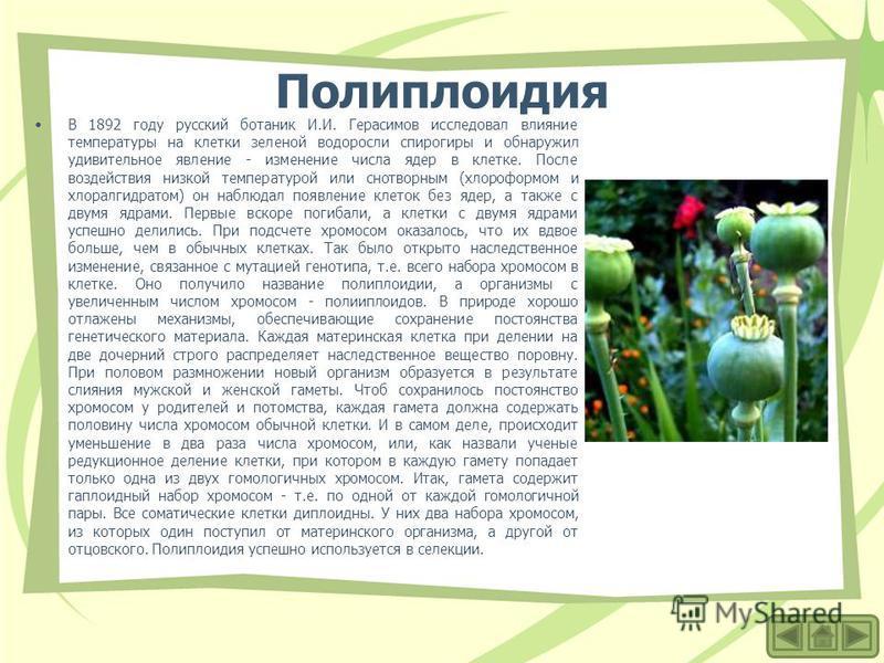 Полиплоидия В 1892 году русский ботаник И.И. Герасимов исследовал влияние температуры на клетки зеленой водоросли спирогиры и обнаружил удивительное явление - изменение числа ядер в клетке. После воздействия низкой температурой или снотворным (хлороф