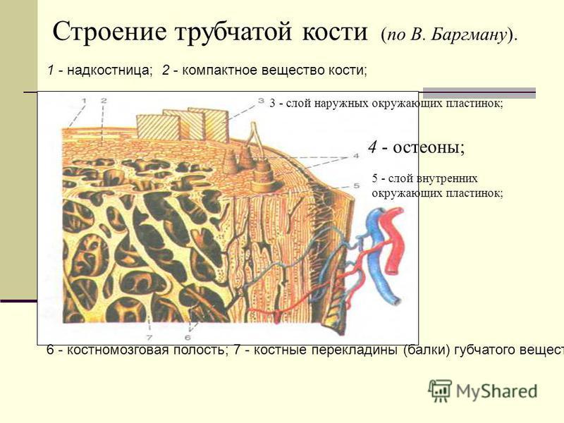 6 - костномозговая полость; 7 - костные перекладины (балки) губчатого вещества. Строение трубчатой кости (по В. Баргману). 1 - надкостница; 2 - компактное вещество кости; 4 - остеоны; 3 - слой наружных окружающих пластинок; 5 - слой внутренних окружа