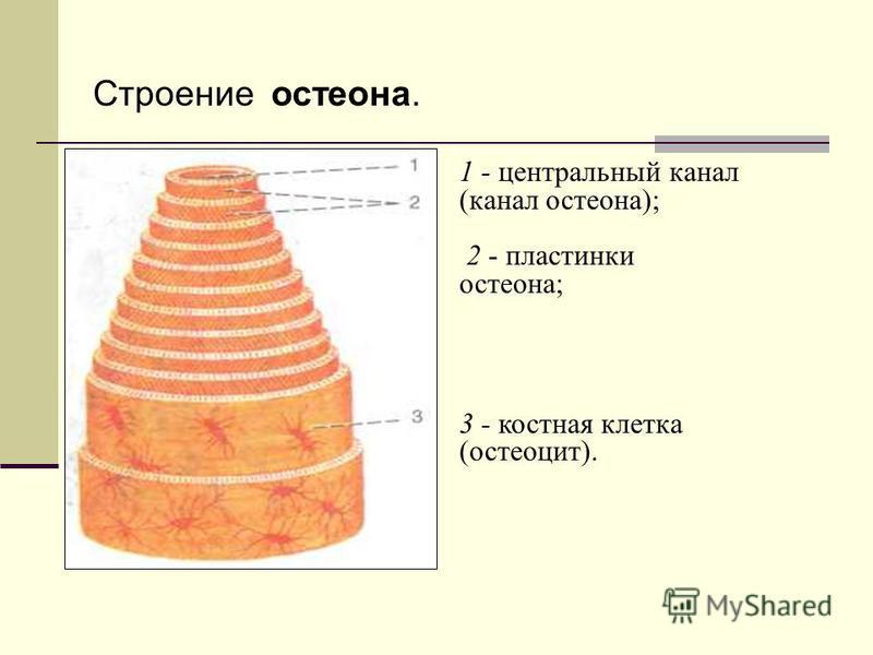 Строение остеона. 1 - центральный канал (канал остеона); 2 - пластинки остеона; 3 - костная клетка (остеоцит).