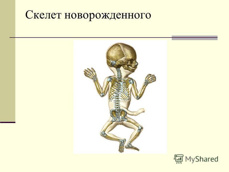 Скелет новорожденного