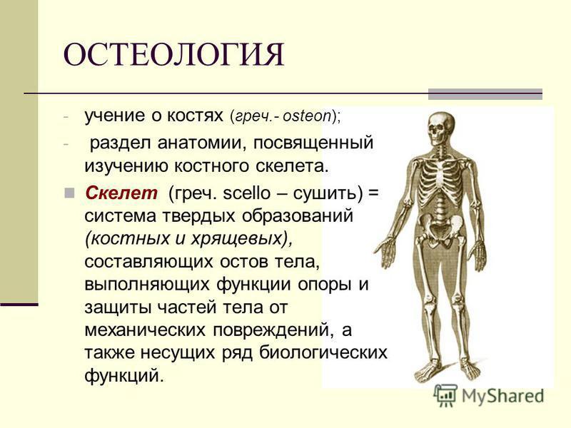 ОСТЕОЛОГИЯ - учение о костях (греч.- osteon); - раздел анатомии, посвященный изучению костного скелета. Скелет (греч. sсello – сушить) = система твердых образований (костных и хрящевых), составляющих остов тела, выполняющих функции опоры и защиты час