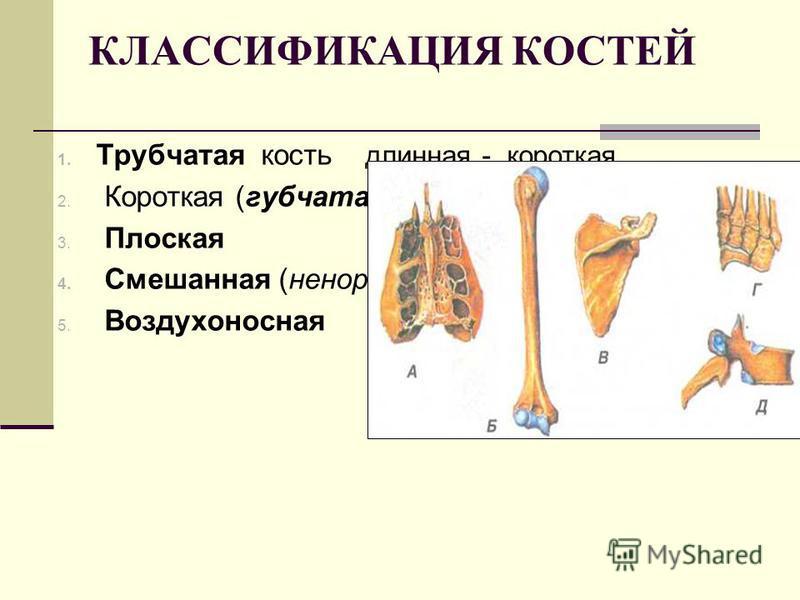 КЛАССИФИКАЦИЯ КОСТЕЙ 1. Трубчатая кость длинная - короткая 2. Короткая (губчатая) 3. Плоская 4. Смешанная (ненормальная) 5. Воздухоносная