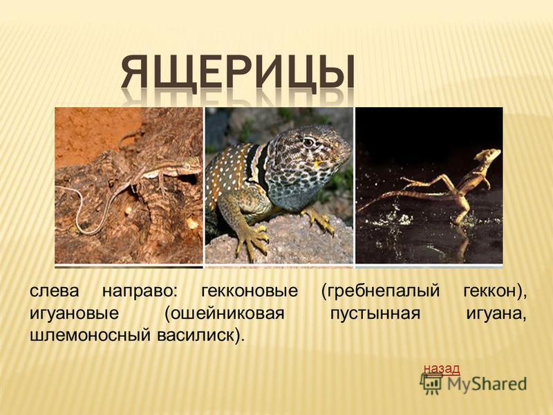 слева направо: герконовые (гребнепалый геккон), игуановые (ошейниковая пустынная игуана, шлемоносный василиск). назад