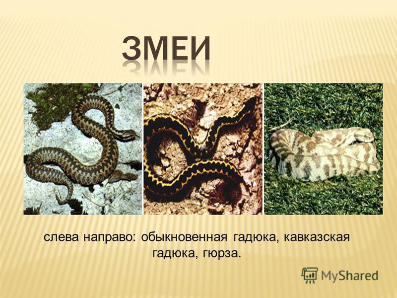 слева направо: обыкновенная гадюка, кавказская гадюка, гюрза.
